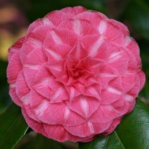 Camellia japonica 'Duc de Bretagne'