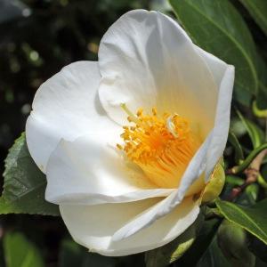 Camellia 'Duckley's Belle'
