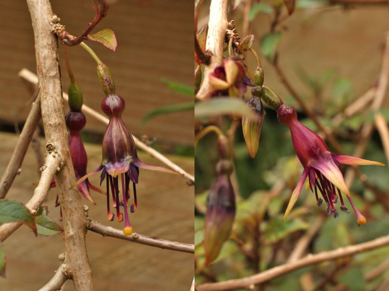 Fuchsia-perscandens
