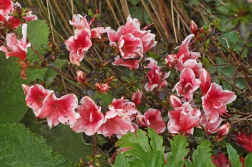 Azalea whose name I have forgotten