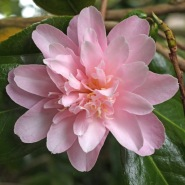 Camellia 'Annette Carol'. Like Adorable, a pitardii cross.