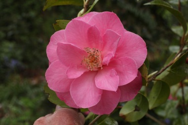 Camellia seedling from 'St Michael'. Similar ones abound, I'm not going to make my fortune with it.