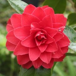 Camellia 'Spring Fling'