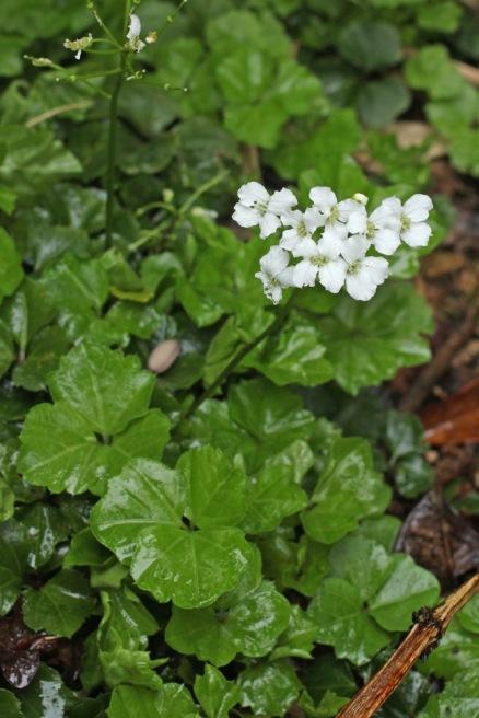 Cardamine trifolia.