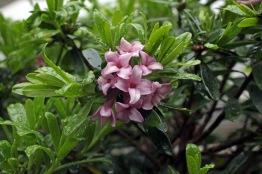 Daphne 'Eternal Fragrance Pink'