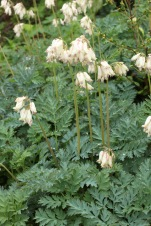 Dicentra formosa form, invasive but lovely.
