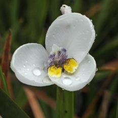 Dipplarhena moraea. Nice compact form.