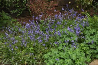 Bluebells. Could easily become a nuisance.