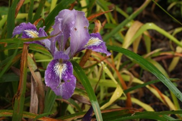 Iris, bought years ago for the Hesperantha that had seeded into its pot.