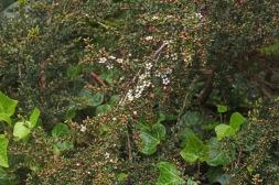 Leptospermum rupestre