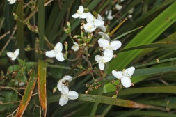 Libertia, the hybrid between formosa and ixioides. Excellent plant.
