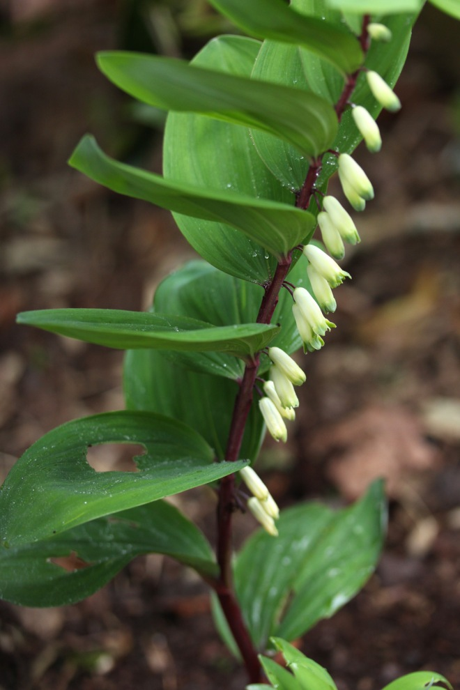 Polygonatum-Purple-Stem