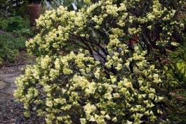 Rhododendron 'Merganser'