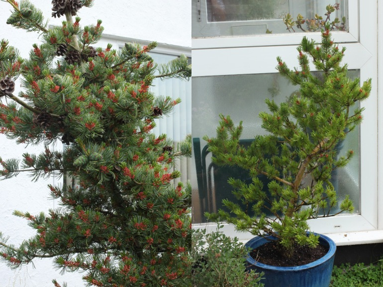 Conifers-1