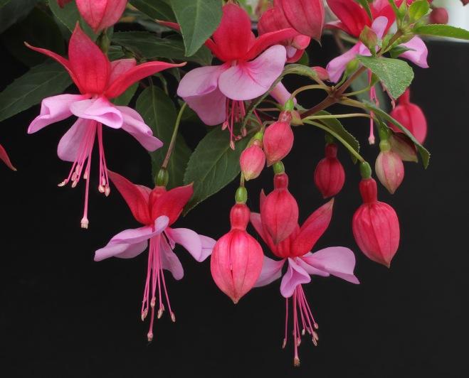 Fuchsia-Loecky