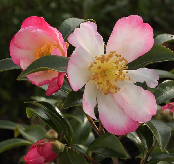 camellia-navajo-8