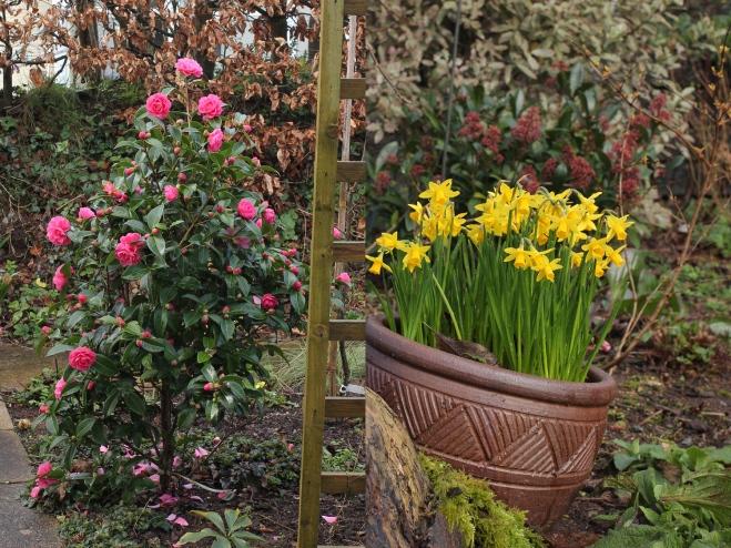 camellia-daffodil