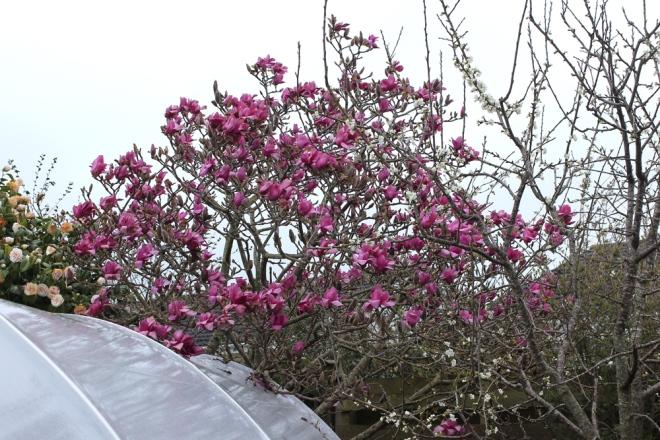Magnolia-Vulcan