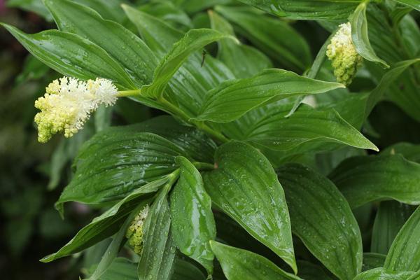 Maianthemum-racemosum-2