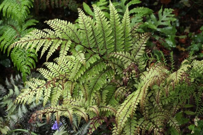 Athyrium-otophorum-Okanum