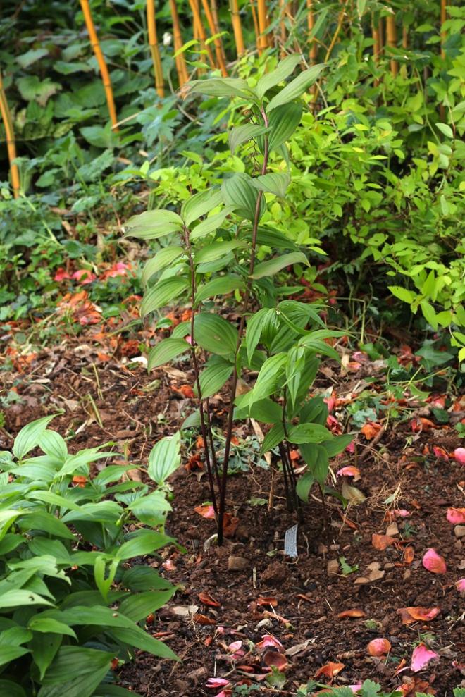 Maianthemum-flexuosum
