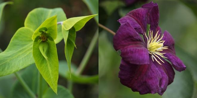 Euphorbia-Clematis