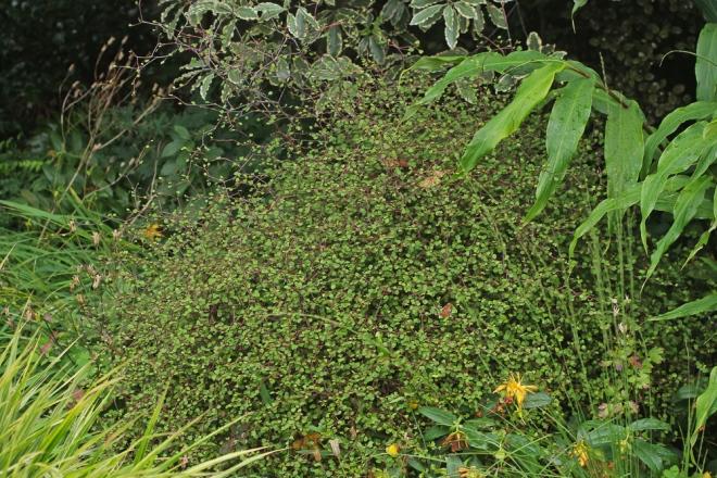 Muhlenbeckia-astonii