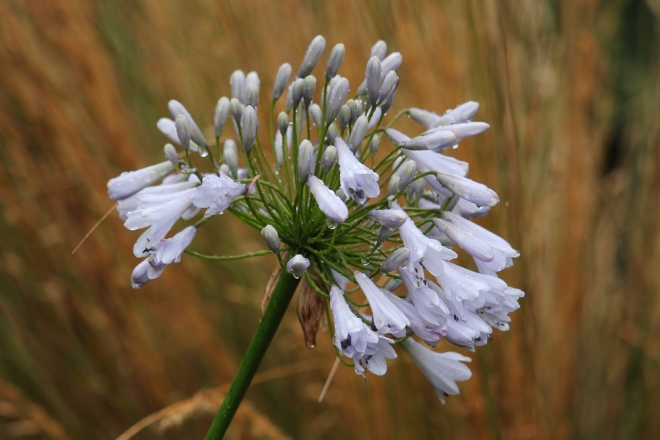 Agapanthus-Windsor-Grey