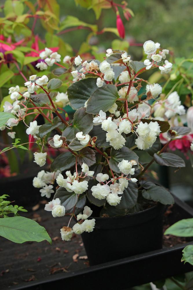 Begonia-cv