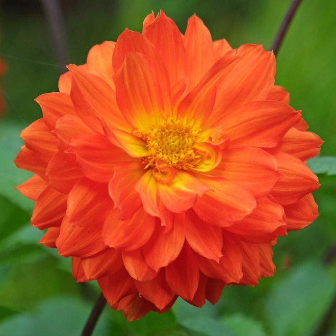 Dahlia-Orange-Cushion