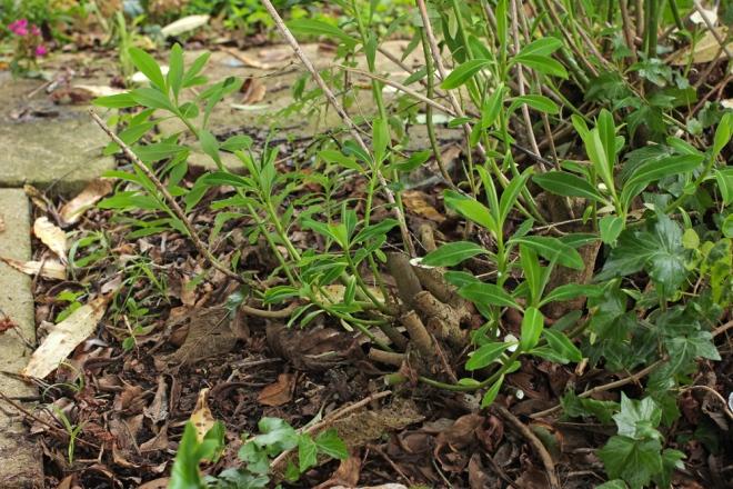 Euphorbia-mellifera-4