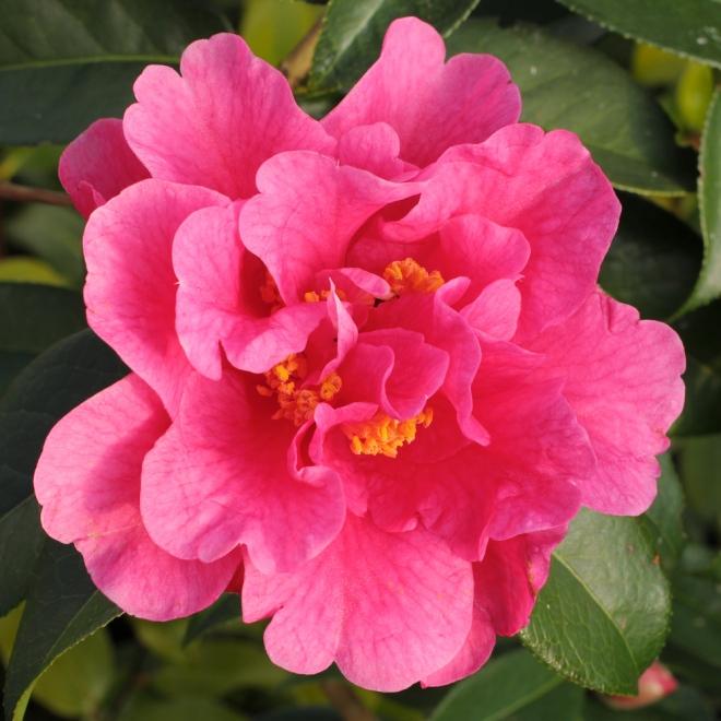 Camellia-Yojimbo