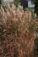 Miscanthus sinensis 'Septemberot'