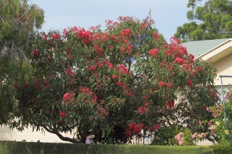 Corymbia down the road.