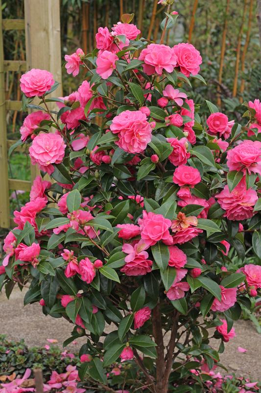 Camellia-Adorable-2