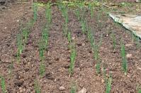 Onions 'Rumba' planted on plot.