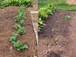 Broad beans and Lettuce 'Oakleaf Navarro' planted on plot.