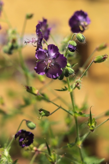 Geranium-Lily-Lovell