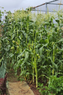 Sweet Corn Goldcrest