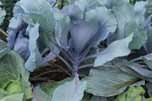Cabbage Huzaro.