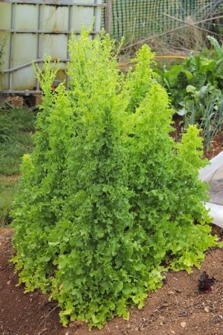 Lettuce Salad Bowl, green manure.