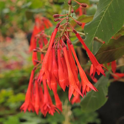 Fuchsia-Coralle
