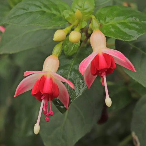 Fuchsia-Galadriel