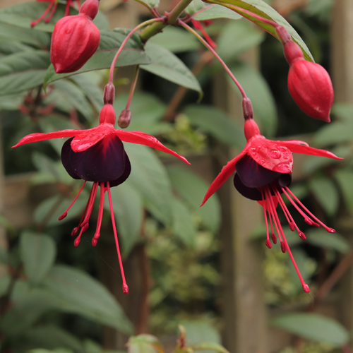 Fuchsia-Lady-in-Black