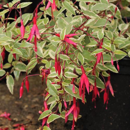 Fuchsia-mag-gra-var