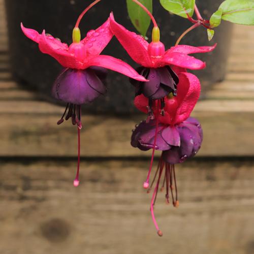 Fuchsia-Maxima