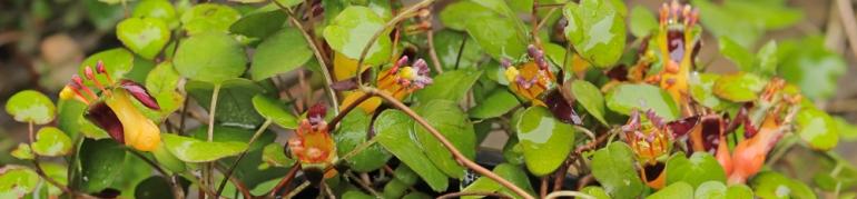 Fuchsia-procumbens