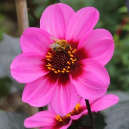 Dahlia 'Happy Single Wink'