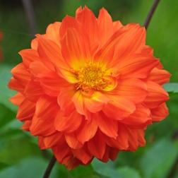 Dahlia 'Orange Cushion'