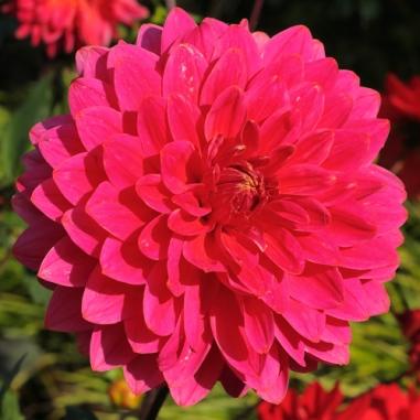 Dahlia 'Polly Peachum'
